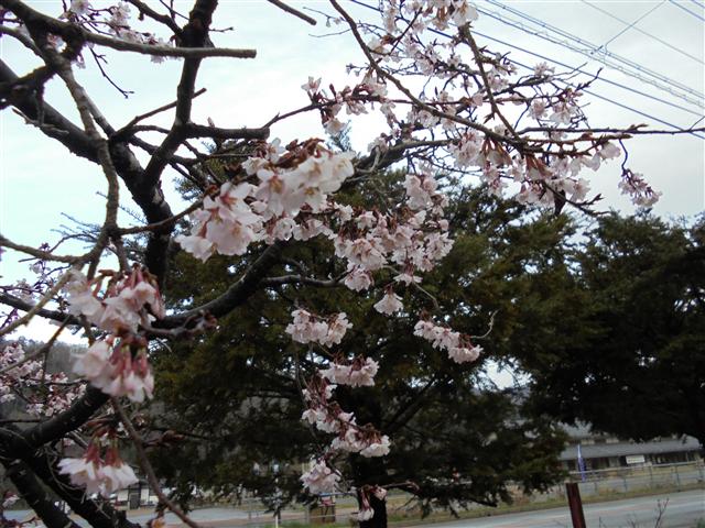 咲き始めた苗代桜
