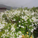 ウツギの花が満開です